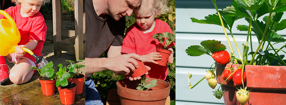 <b> Spring garden ideas: </b> Plant delicious strawberries with your little ones