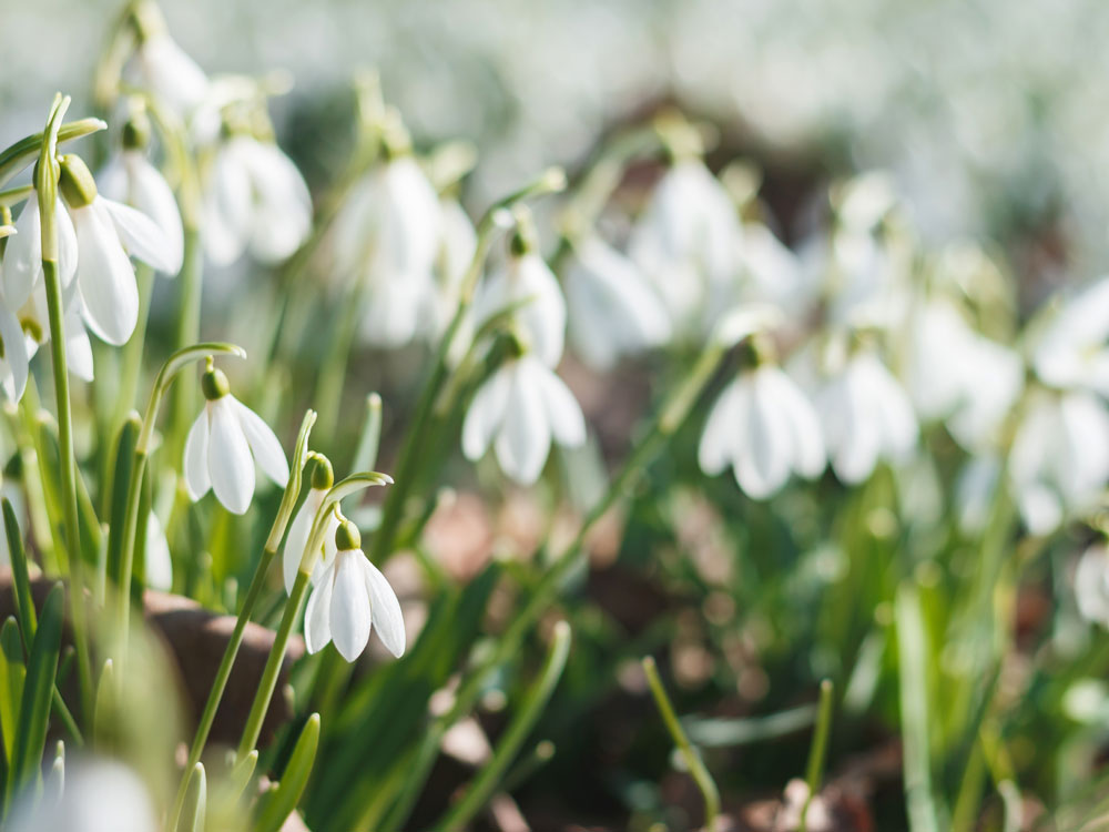 Feb-snowdrops